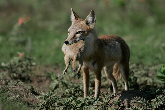 Swift Fox with prairie dog